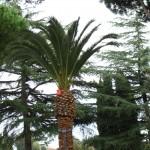 Palma trattata il 13-ott-2010 l'infestazione era ancora in uno stadio iniziale