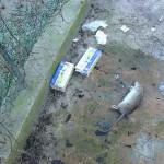 carcassa ratto